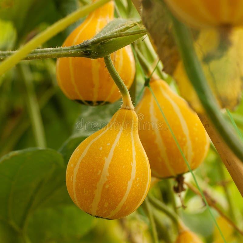 Apelsinen gjord randig pumpa mognar på en melon i en by arkivfoton