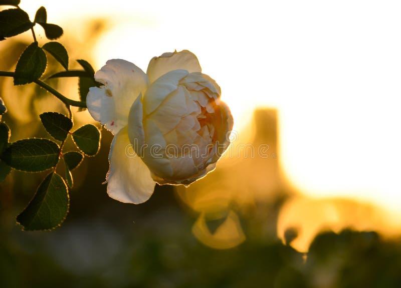 Apelsinen steg closeupen för blommablomningmakroen på solnedgången royaltyfria foton