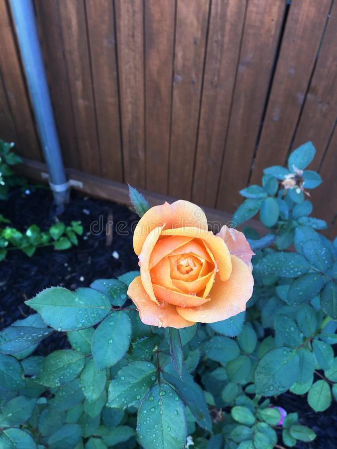 Apelsinen steg med vatten på kronblad royaltyfri bild