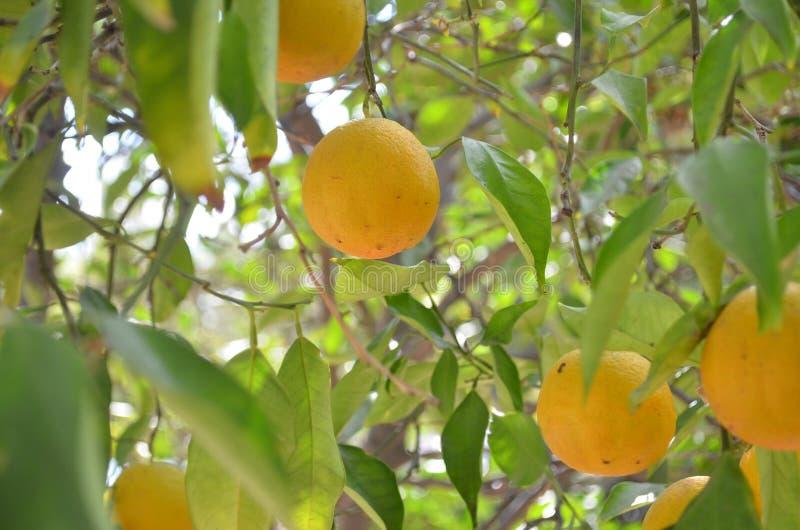 Apelsiner på ett träd. royaltyfri fotografi