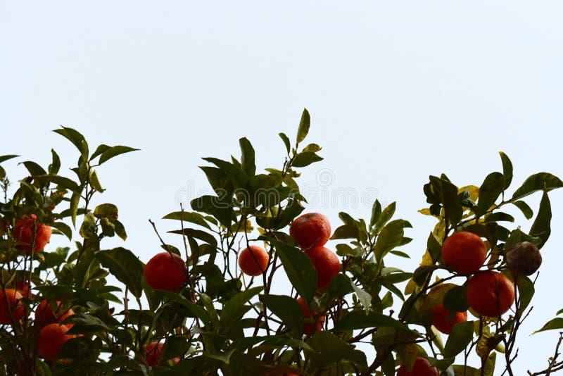 Apelsiner på ett träd mot en blå himmel royaltyfria foton
