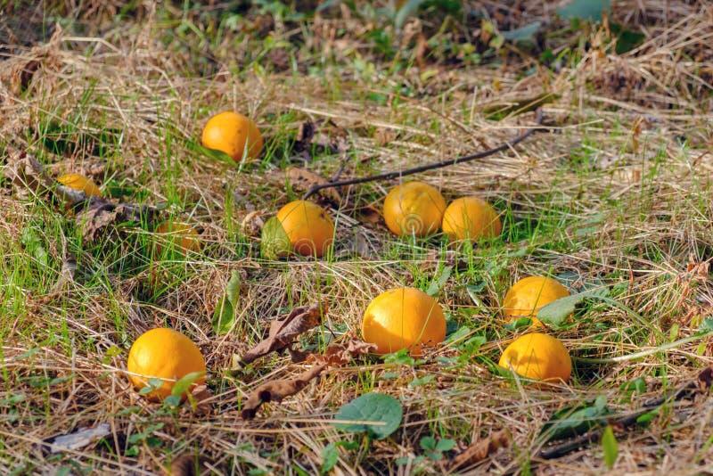 Apelsiner på jordningen royaltyfria bilder