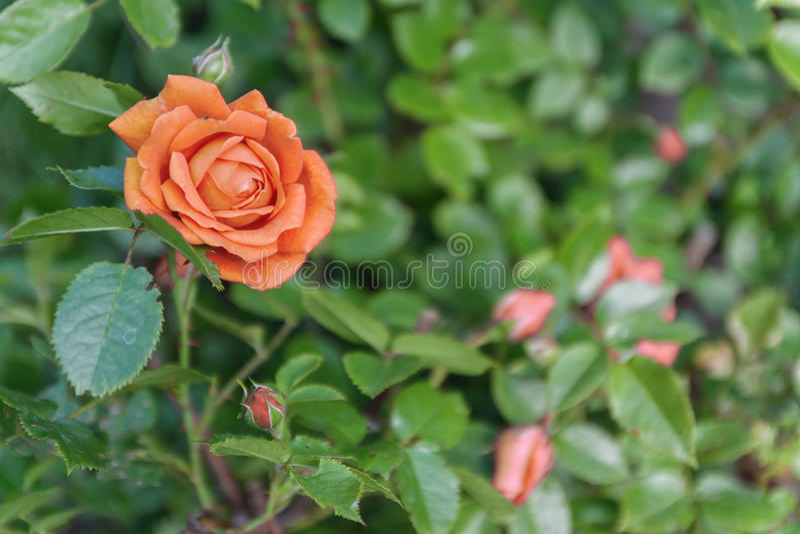 Apelsinros på en buske, bästa sikt royaltyfria bilder