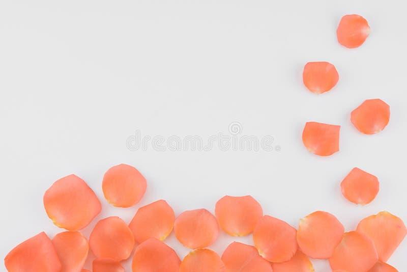 Apelsinroskronblad på vit bakgrund royaltyfria bilder