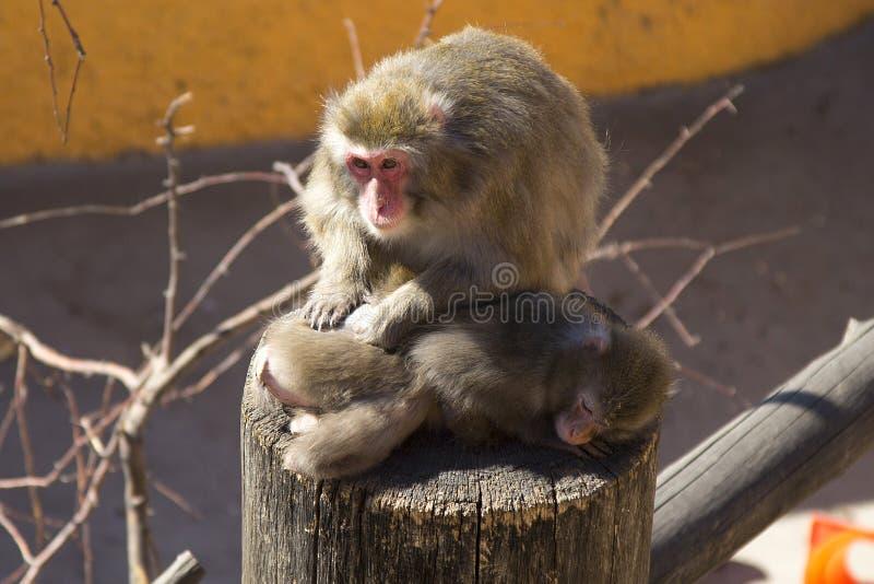 apen royalty-vrije stock afbeeldingen