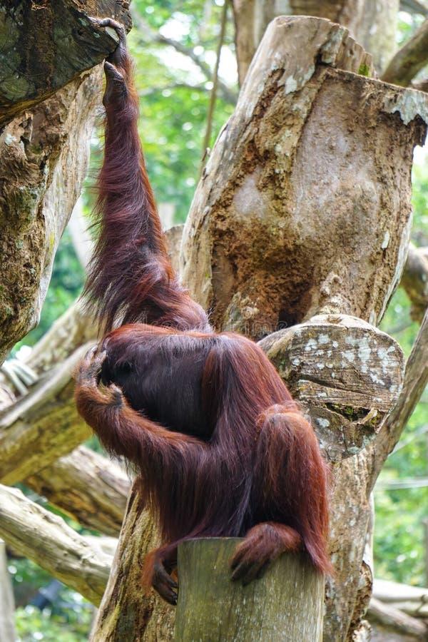 Apen in de Botanische Tuin van Singapore royalty-vrije stock foto