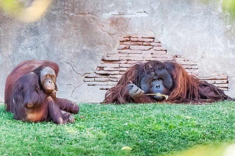 Apen gedwee aan de rest van de leider stock afbeelding