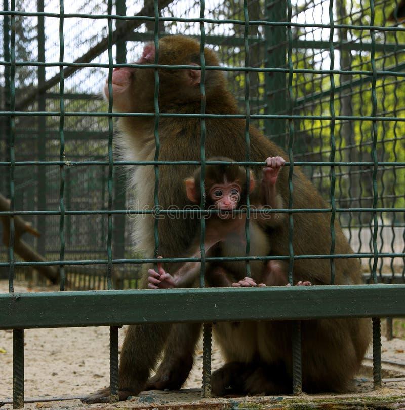 Apen gelukkige moeder met baby stock afbeeldingen