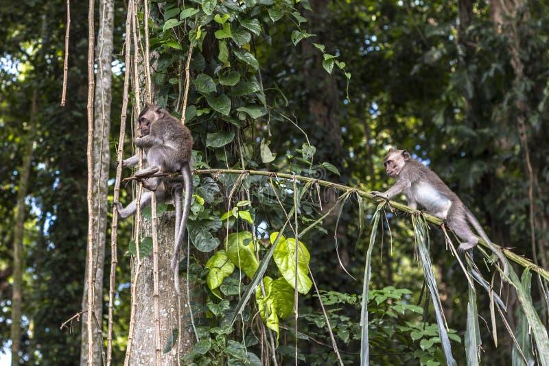 Apen op boom in Aapbos, Bali stock afbeelding