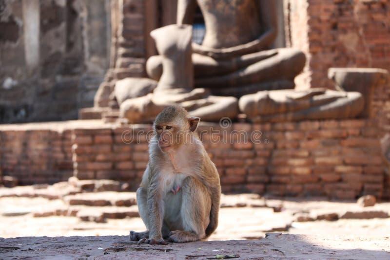 Apen op de standbeeldenachtergrond van Boedha in Phra Prang Sam Yot in Lopburi tijdens de dag stock foto's