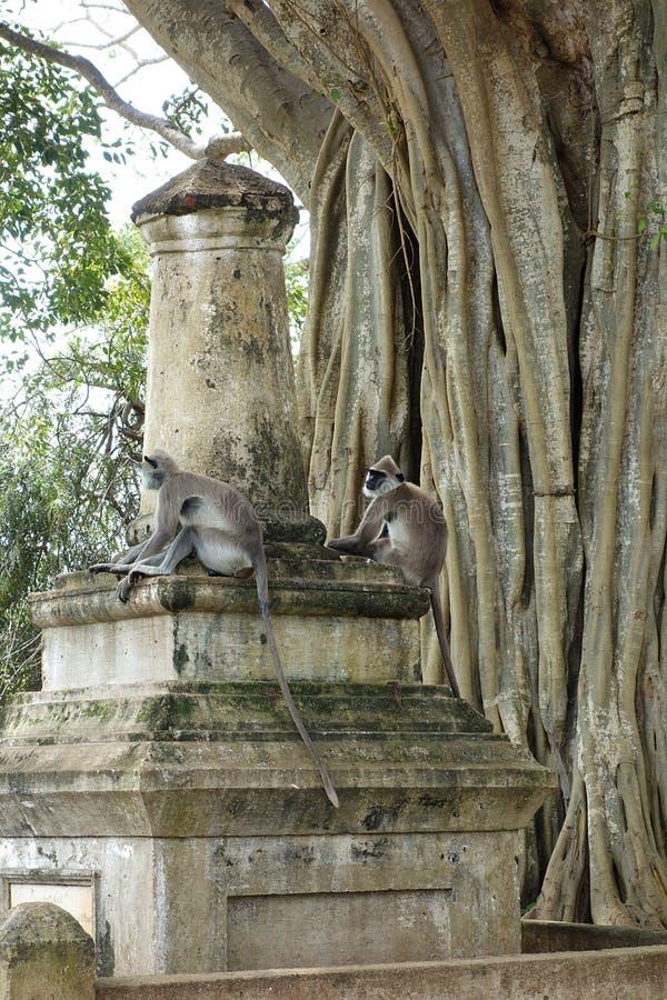 Apen op Ruïnes door Grote Banyan-Boom stock fotografie