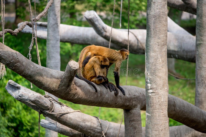 Apen, slingerende primaten royalty-vrije stock afbeeldingen