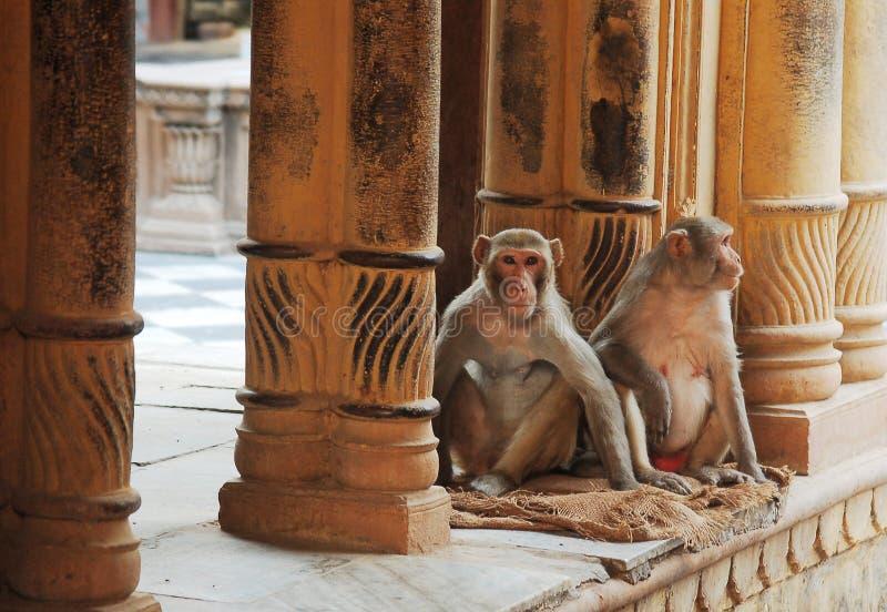 Apen in tempel royalty-vrije stock afbeeldingen