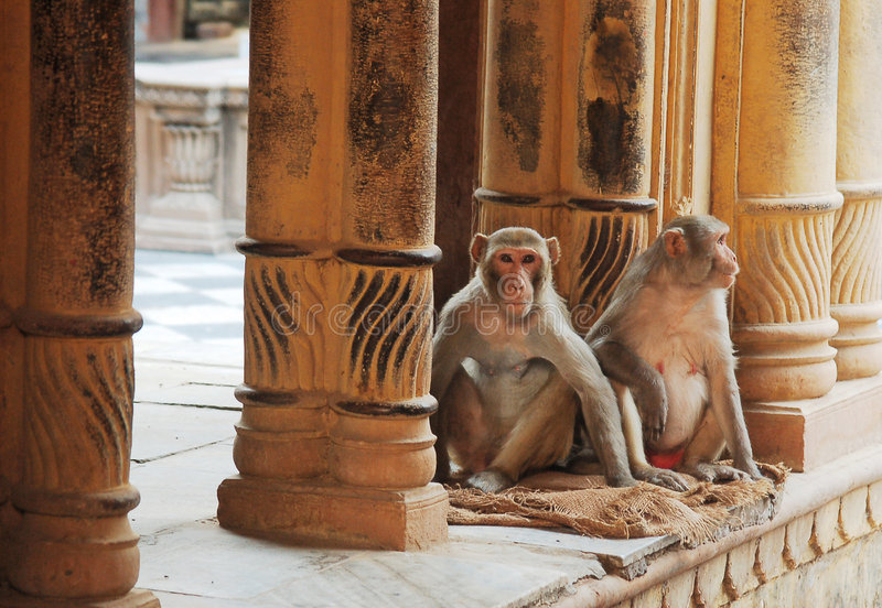 Apen in tempel stock foto's