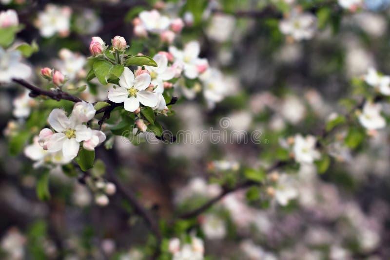 Apenas chovido sobre fundo da flor da árvore de maçã com espaço da cópia, h imagens de stock royalty free