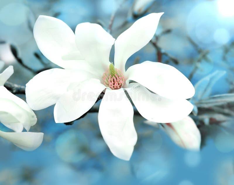 Apenas chovido sobre Magnólias brancas bonitas no fundo borrado azul foto de stock