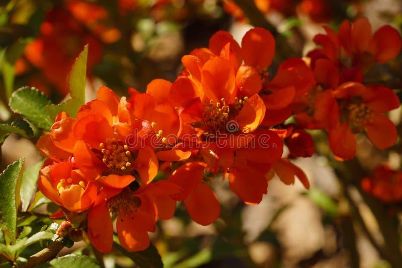 Apenas chovido sobre O japonica do Chaenomeles, conhecido como o marmelo de Maule é uma espécie de variedade de florescência de S fotos de stock royalty free