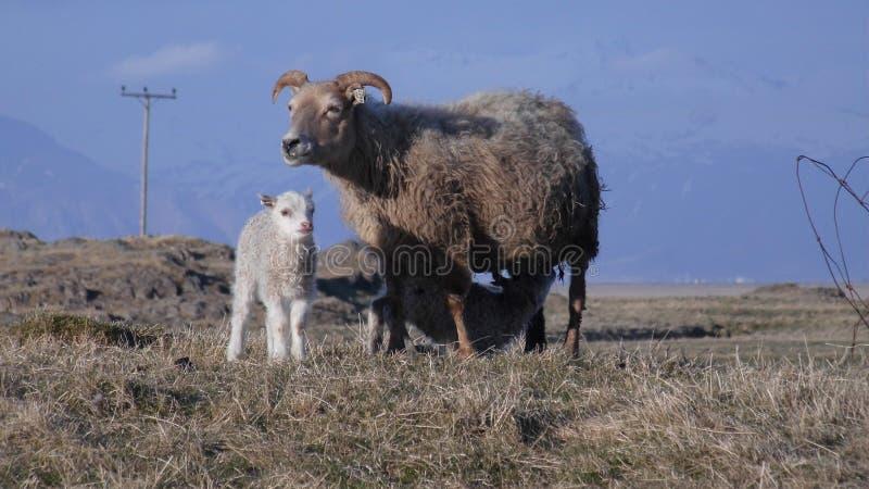 Apenas corderos gemelos recién nacidos con la madre en pradera imagen de archivo