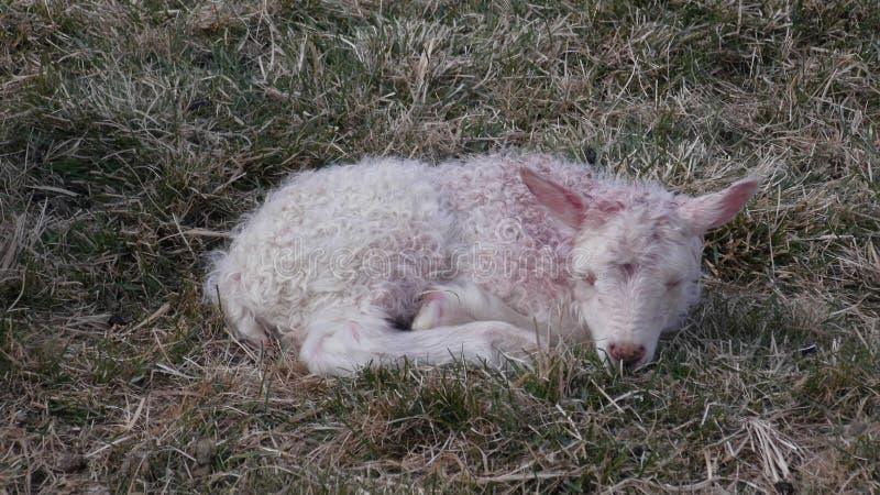 Apenas corderos recién nacidos Un sueño del cordero del bebé en pasto imagen de archivo libre de regalías