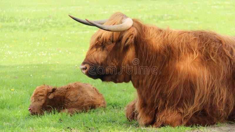 Apenas de uma noite carregado vitela com a mãe em campos verdes fotos de stock