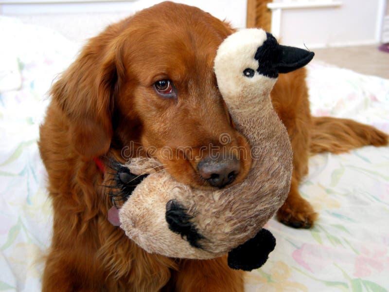 Apenas Ducky foto de archivo libre de regalías