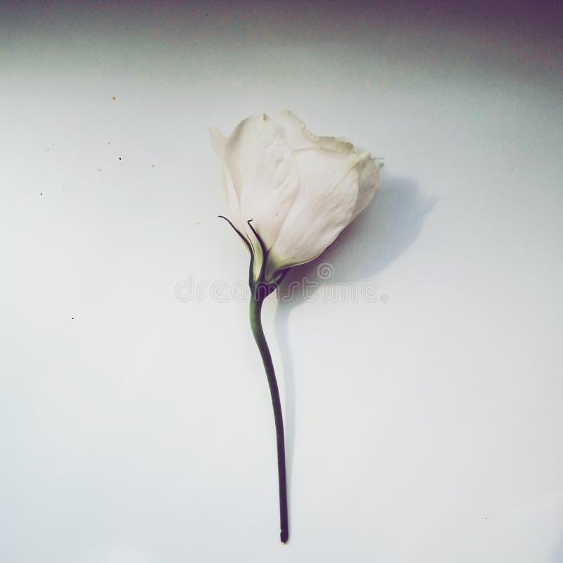 apenas flor bonita para você fotografia de stock royalty free