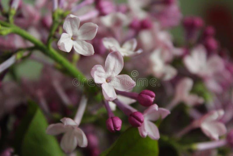 Apenas lilás de florescência fotos de stock