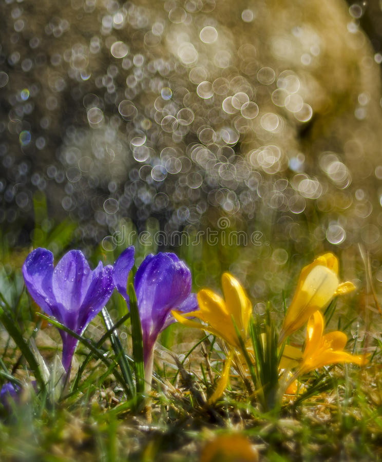 Apenas llovido encendido Azafranes púrpuras fotos de archivo
