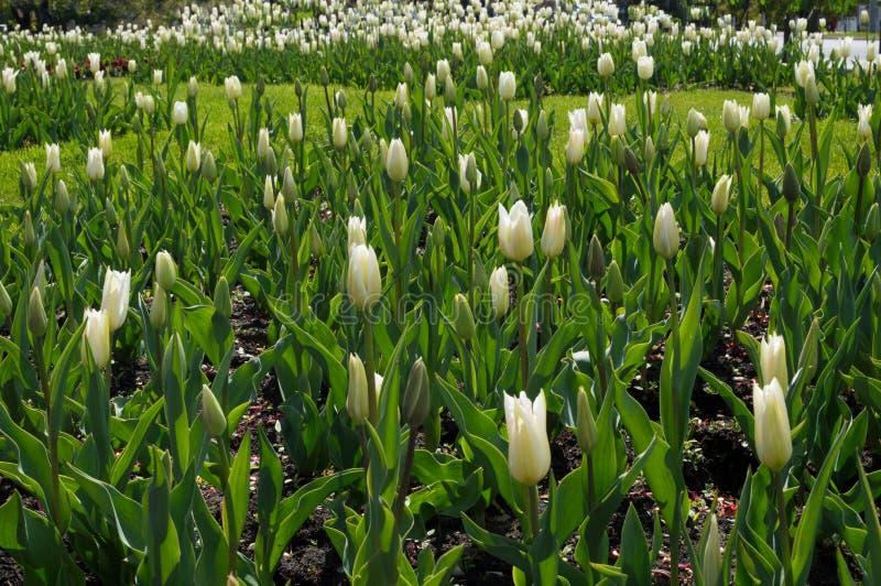 Apenas llovido encendido Crecimiento de flores blanco del tulipán en el jardín fotos de archivo