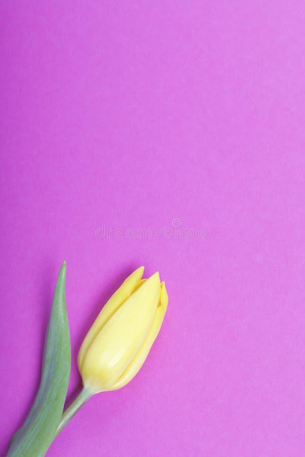 Apenas llovido encendido Un tulipán amarillo en un fondo fucsia fotografía de archivo libre de regalías