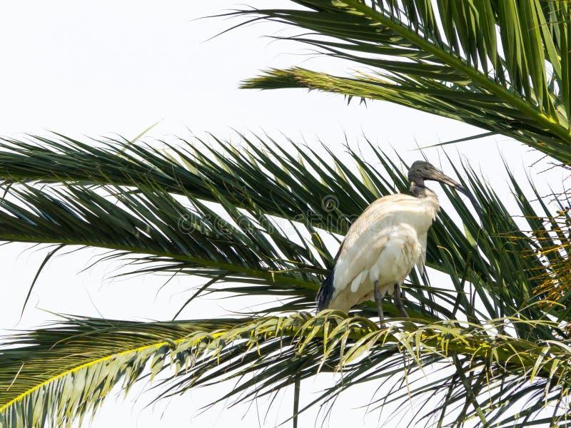 Apenas o pássaro branco australiano dos íbis que empoleira-se na palmeira floresta em Novo Gales do Sul, Austrália foto de stock royalty free