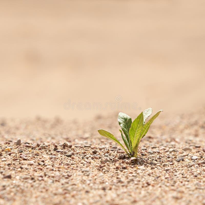 Apenas planta de verde na areia O conceito da sobreviv?ncia Foto com espa?o da c?pia fotografia de stock royalty free