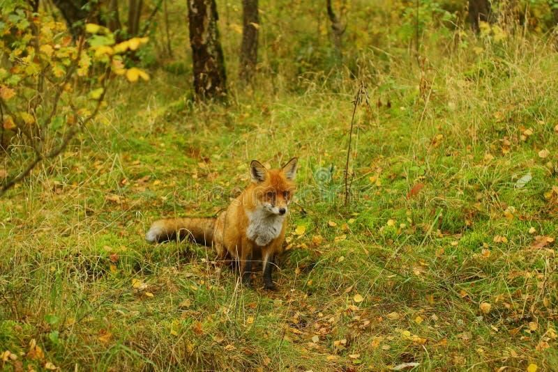 Apenas raposa com fome na grama fotografia de stock royalty free