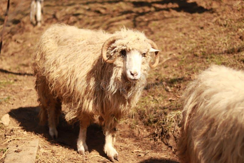 Apenas una oveja muy vieja que parece deprimida fotos de archivo libres de regalías
