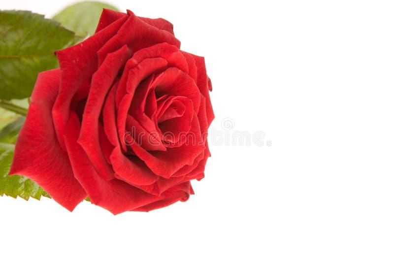 Apenas una rosa foto de archivo libre de regalías
