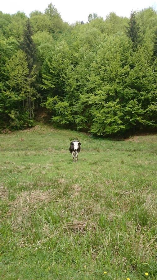 Apenas una vaca curiosa fotografía de archivo libre de regalías