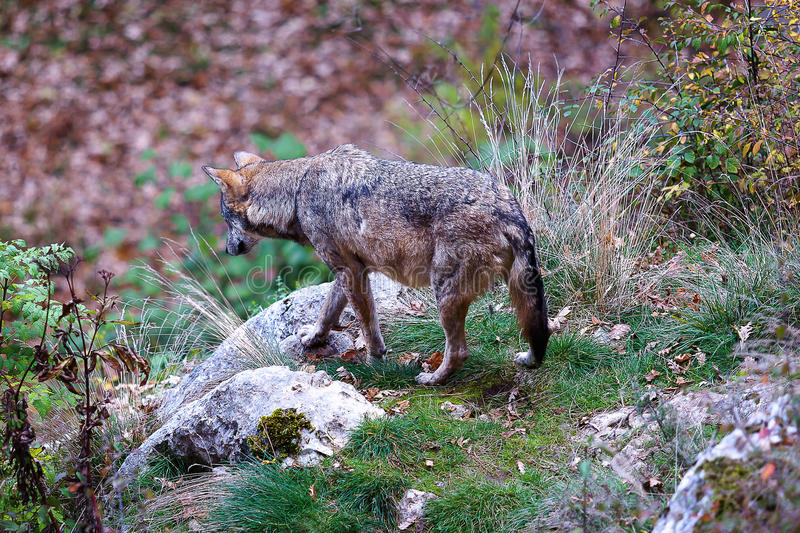 Apennine wolf, Canis lupus italicus royalty free stock photography
