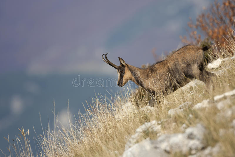 Apenninic chamois during the autumn royalty free stock image