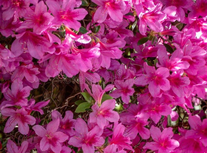 Aperçu d'un lit avec Gillyflowers pourpre, caryophyllus scientifique d'oeillet de nom, avec beaucoup de fleurs simples, bachgroun photographie stock