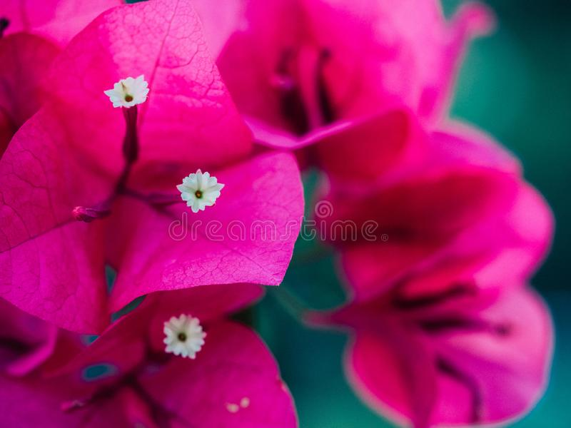 aper花,九重葛,九重葛glabra舒瓦西的Clouse 库存照片