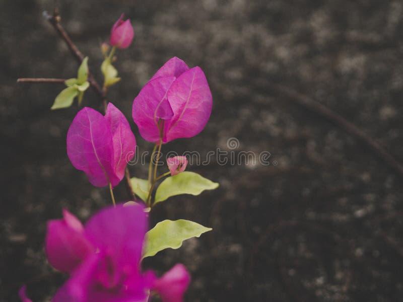 Aper花,九重葛,九重葛glabra舒瓦西 库存图片