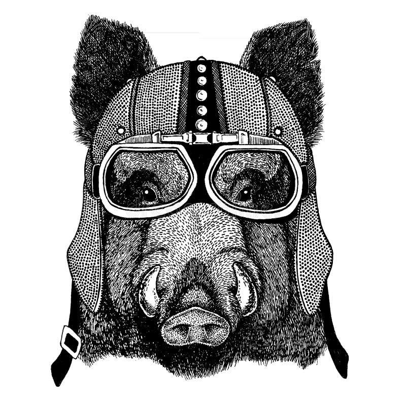 Aper, knur, wieprz, dziki knur jest ubranym motocykl, aero hełm Rowerzysta ilustracja dla koszulki, plakaty, druki royalty ilustracja