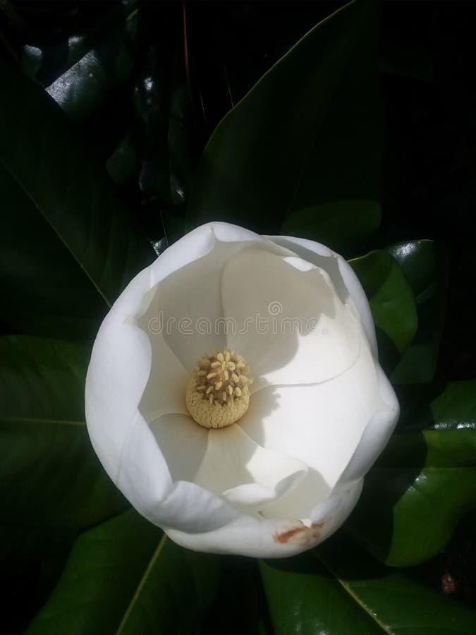 Apertura della magnolia immagini stock
