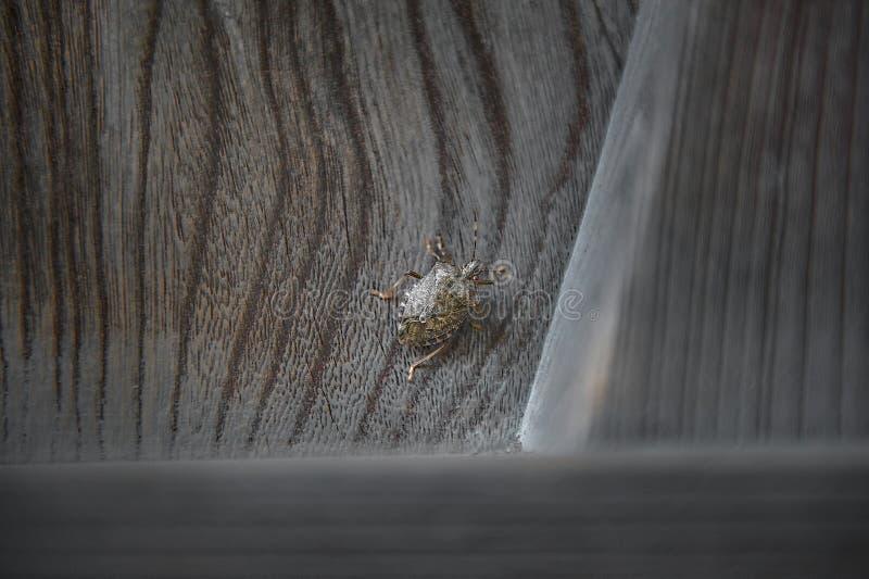 Apeste el insecto en la puerta de madera con el grano ondulado foto de archivo libre de regalías