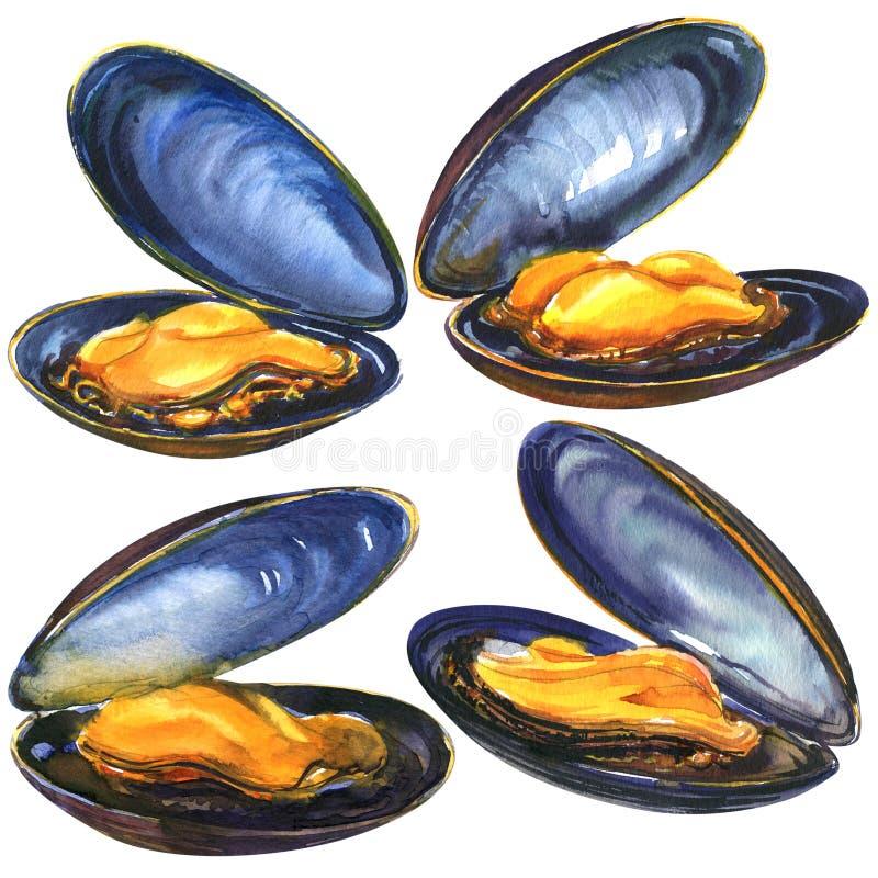 Apetyczny cztery świeżego dennego błękitnego mussels, ustawiają dennego jedzenie odizolowywającego, ręka rysująca akwareli ilustr ilustracji