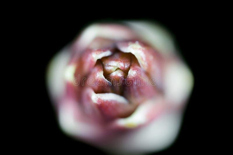Apex de la pousse du diamant de champion de Lilium photographie stock libre de droits