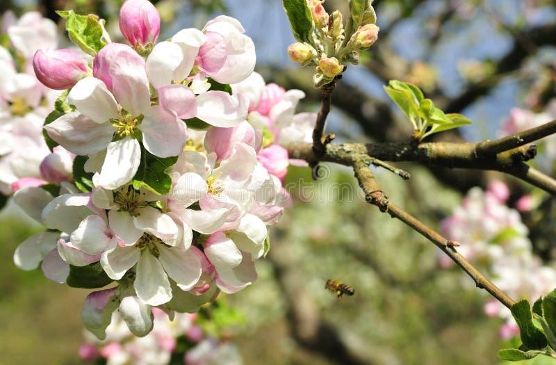 Apfelbäume stockbilder