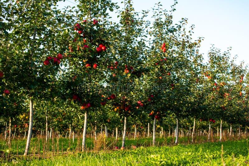 Apfelbäume in Folge stockfotos