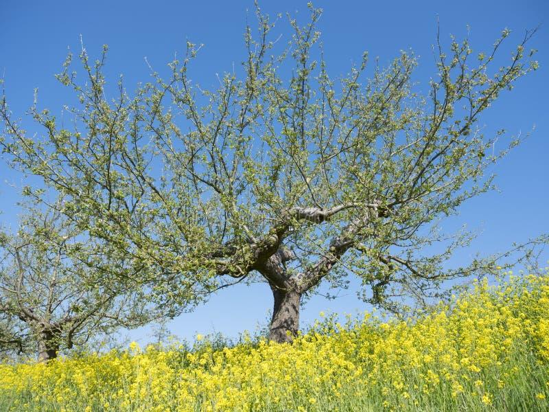 Apfelbäume im Vorfrühling mit gelben Rapssamenblumen unter blauem Himmel in Holland lizenzfreies stockbild