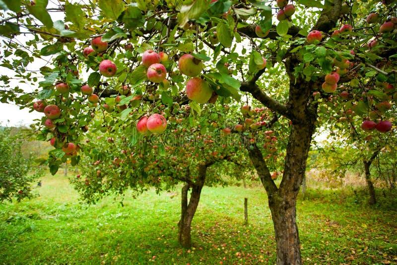 Apfelbäume mit roten Äpfeln stockfoto